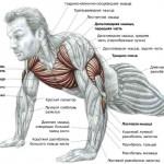 работающие мышцы при отжимании
